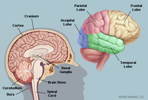 Concussion and The Brain: Basic Anatomy Explains Odd Behaviors